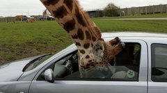 Thumbnail of Thoughtless Driver Ruins Everyone's Day at the Wildlife Park