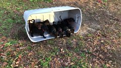 Thumbnail of Puppies see grass for the first time!