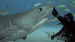 Thumbnail of Petting tiger sharks like they're dogs