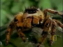 Thumbnail of Jumping spider vs bee