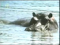 Thumbnail of Amazing behavior from a hippo