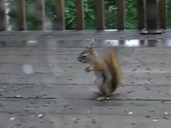 Thumbnail of Squirrel Fight