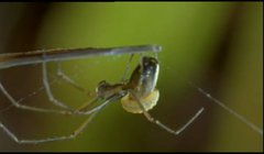 Thumbnail of The Orchard Spider