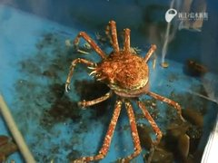 Thumbnail of Spider crab sheds it's shell