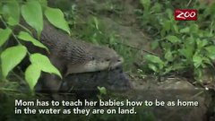 Thumbnail of Otter pups learning to swim