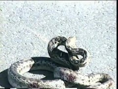 Thumbnail of Squirrel vs Snake