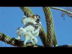 Thumbnail of Coquerel's Sifaka