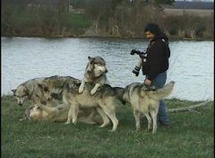 Thumbnail of How to Photograph Wolves at Wolf Park