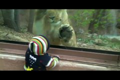 Thumbnail of Lioness tries to eat baby at the zoo