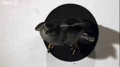 Thumbnail of Amazing Goshawk ability