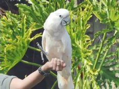 Thumbnail of A hawk attacke a cockatoo at a bird show
