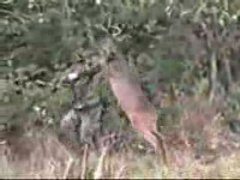 Thumbnail of Deer attacks hunter