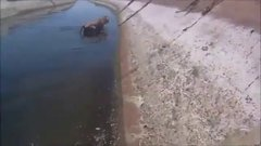 Thumbnail of Dirt biker saves a calf