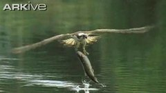 Thumbnail of Osprey fishing