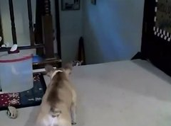 Thumbnail of French bulldog vs. Cat