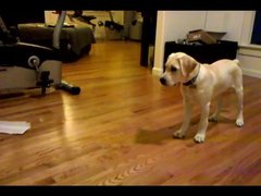 Thumbnail of 16 week labrador retriever puppy dog training and tricks