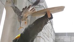 Thumbnail of Angry Peregrine Falcons