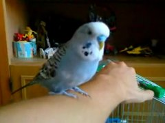 Thumbnail of Budgie is a big fan of R2D2